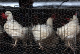 Gripe aviar en Guanajuato, México.