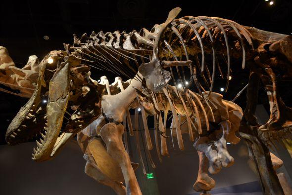 El esqueleto completo de esta nueva especie de dinosaurio se encuentra e...