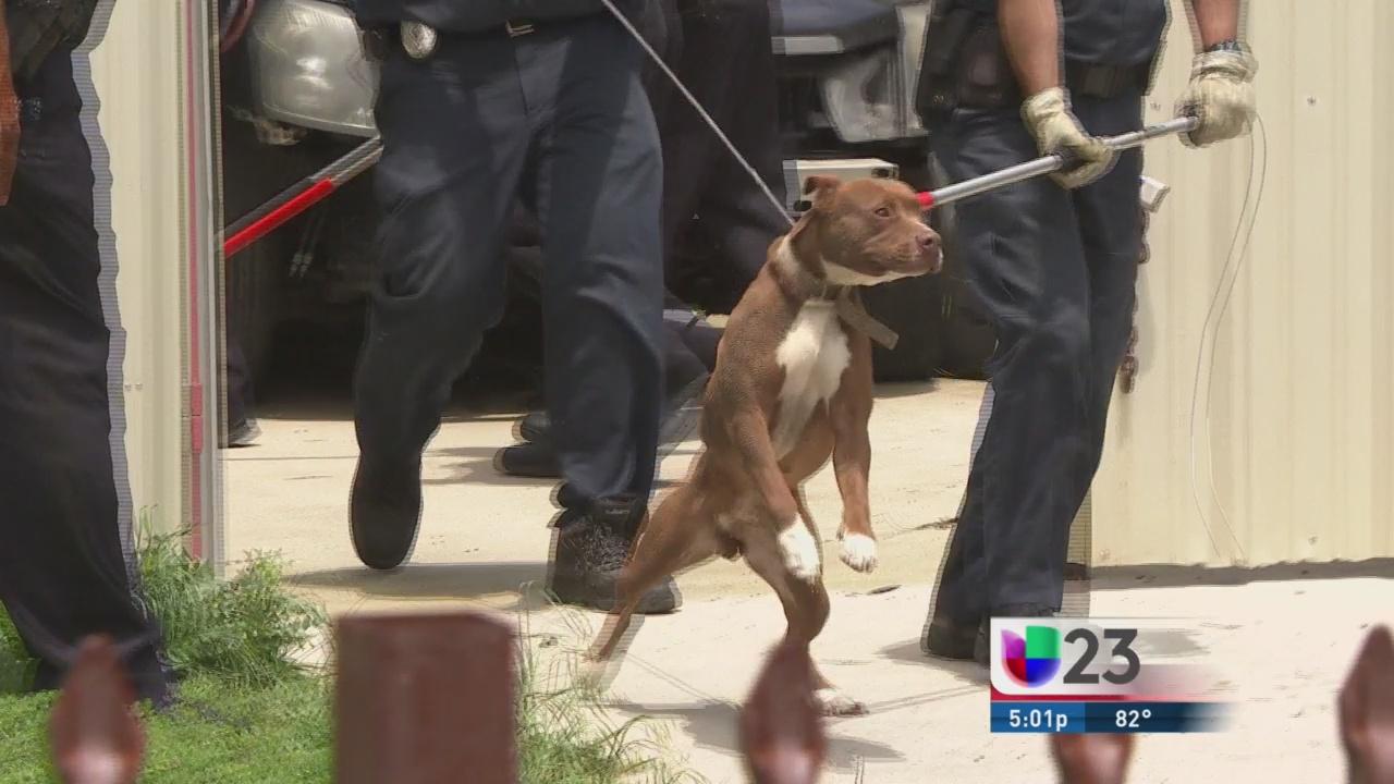 Policía somete a pitbulls que atacaron a un hombre