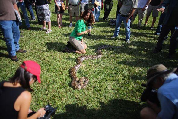 La fauna de los Everglades tiene en las pitones una serie amenaza, ya qu...