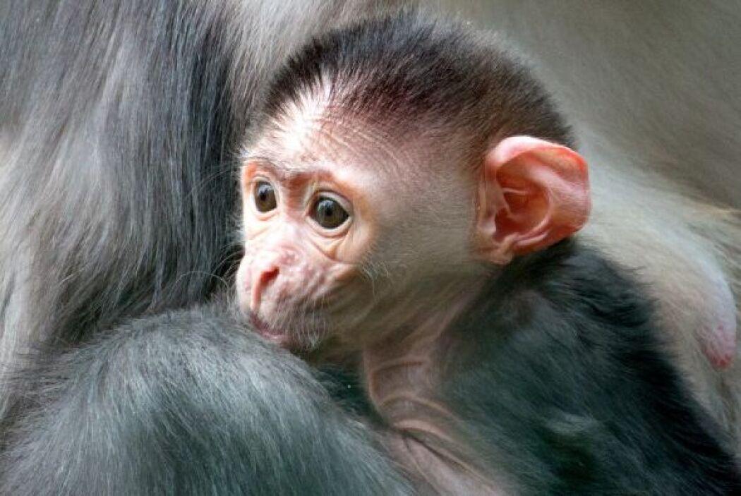 Nació un rarísimo mono bebé en Parque Ambiental Paignton Zoo.