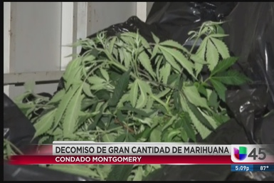 Gran decomiso de marihuana en condado Montgomery