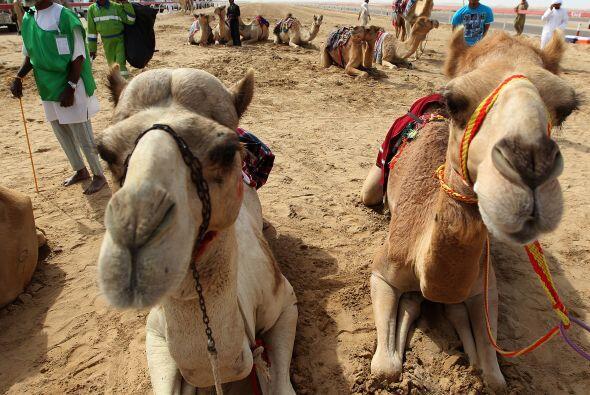 Los camellos y sus jockeys comienzan la carrera durante el Festival de C...