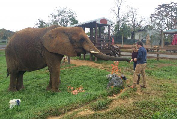 Katie Boling adora a los elefantes, es por eso que Ian pensó en s...