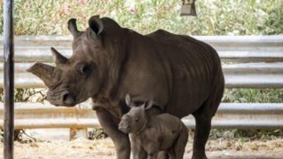 En la actualidad existen solamente 28.000 rinocerontes en el planeta.