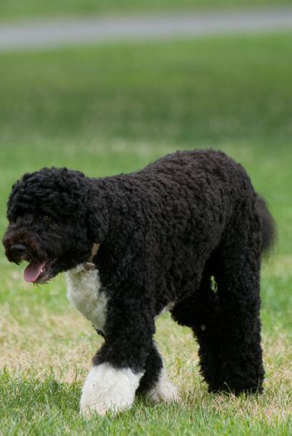 Y el pequeño Bo, la mascota de la familia Obama, no parece ser la excepc...
