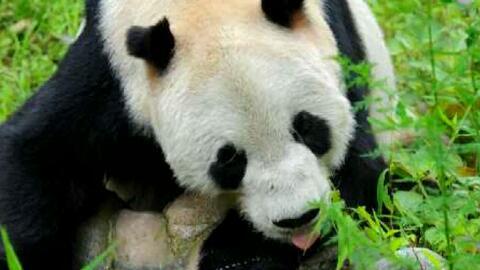 Muere Pan Pan, el panda gigante más viejo del mundo