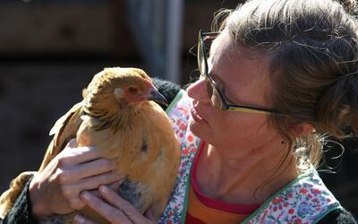 Hay una tendencia creciente a criar aves de corral en los hogares de Est...
