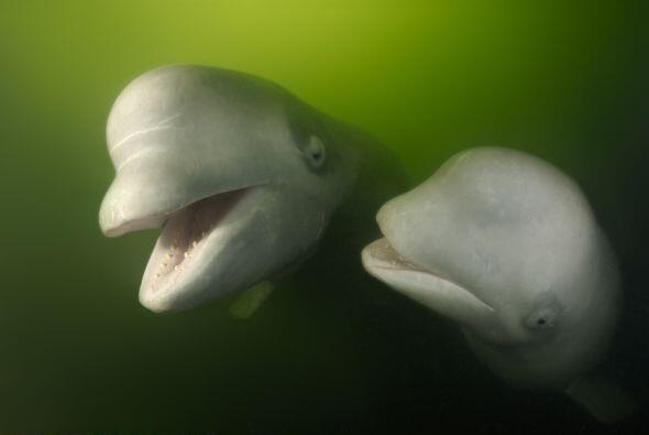 Adorables belugas fueron captadas por un fotógrafo en el mar de J...