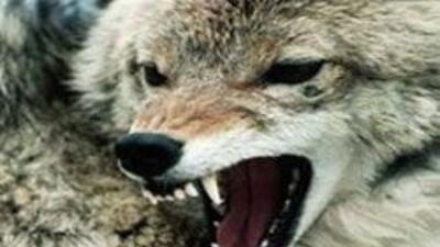 Otra peque?a fue victima de un ataque de coyote, sufrio rasgu?os y morde...