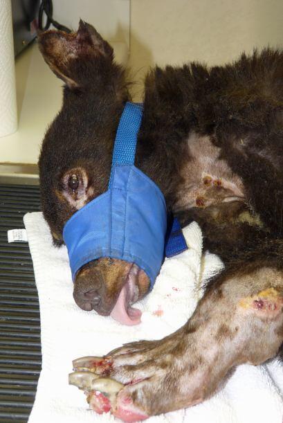 Cinder fue tratado de emergencia para que sus patas no sufrieran daños i...