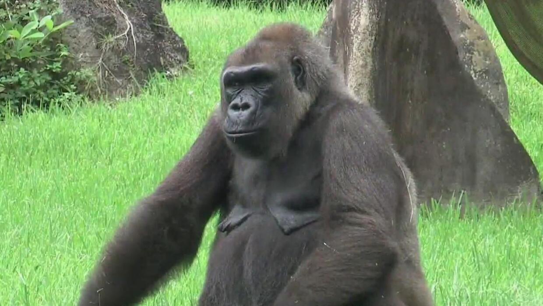 La muerte a balazos de un gorila en un zoológico encendió la polémica