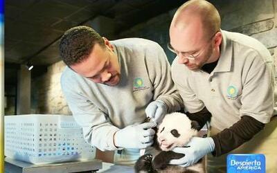 La experiencia de cuidar a un panda en el Zoológico Nacional