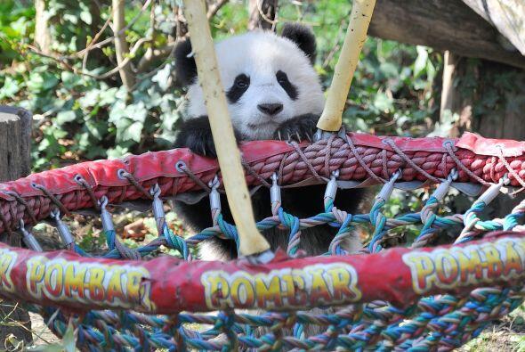 El bebé panda aunque lidió un poco al subir al columpio po...