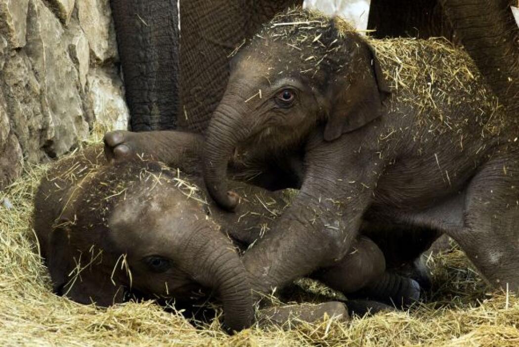 Un bebé elefante asiático juega con otro bebé elefante en el Ramat Gan S...