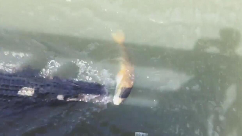 El videíto: nadie sabe para que caimán trabaja