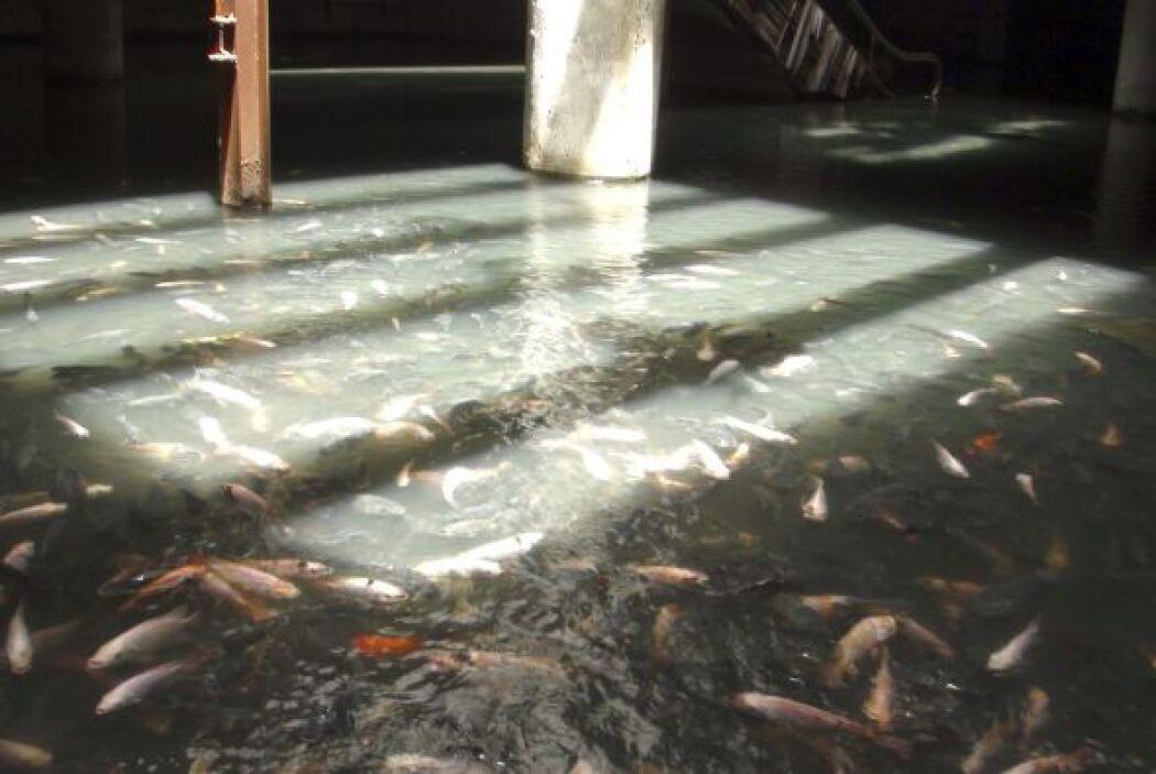 Miles de peces de colores viven en un estanque formado con agua de lluvi...