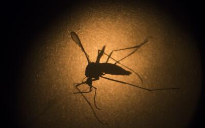 Foto de un mosquito Aedes aegypti, sospechoso de causar el virus del zik...
