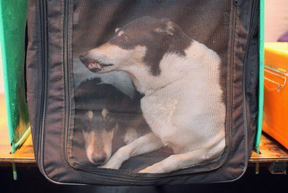 La también llamada hiperactividad canina, se manifiesta en muchos...