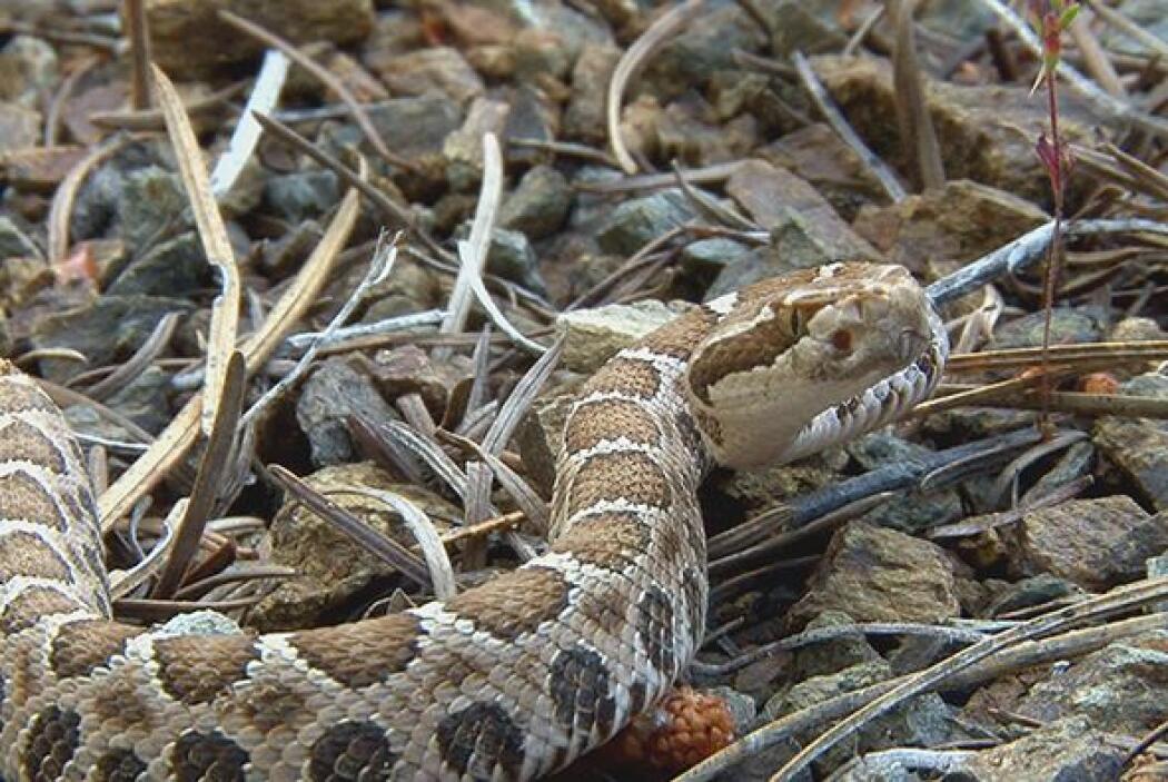 En algunas partes del mundo, la carne de serpiente se consume por sus be...