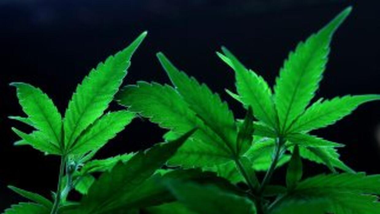 La marihuana ha aumentado su consumo y su cultivo.