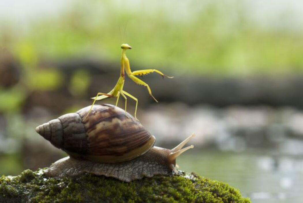 Al parecer esta mantis decidió tomar el transporte más lento que encontr...