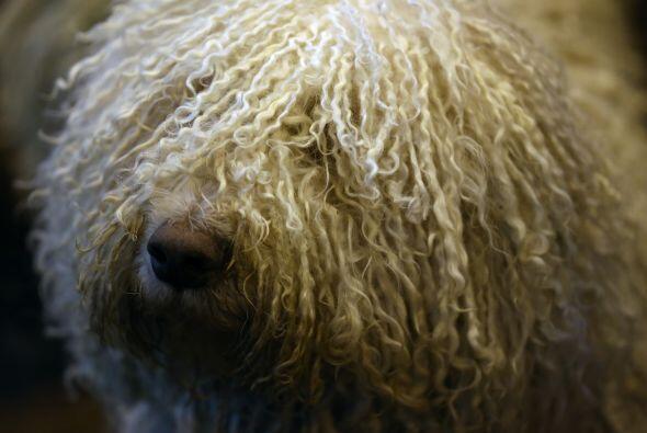 Originalmente, estos perros eran utilizados para pastoreo en Hungría, y...