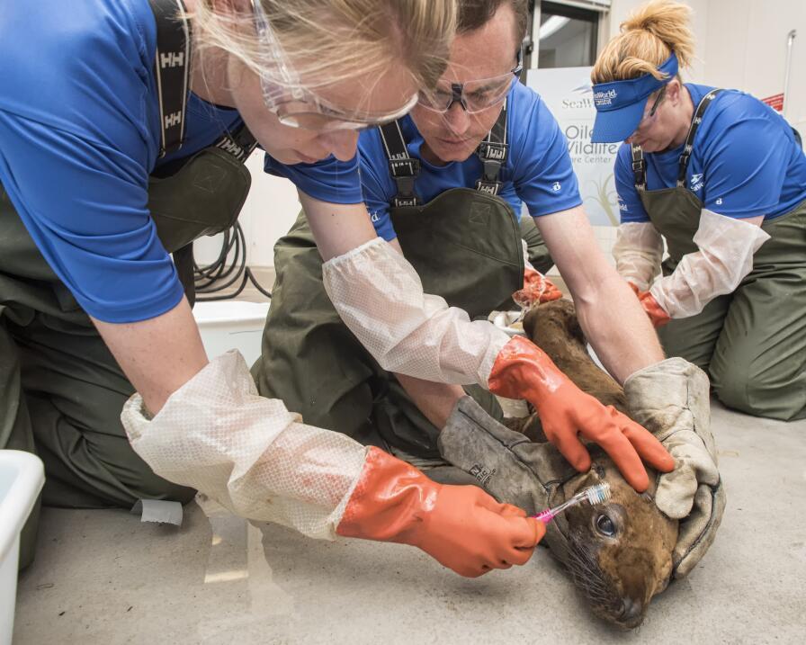 Especialistas limpian a un león marino afectado por el derrame.