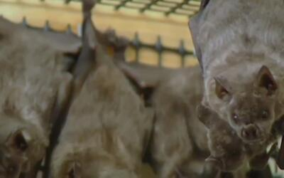 Un murciélago con rabia fue encontrado en Grange Park, Illinois