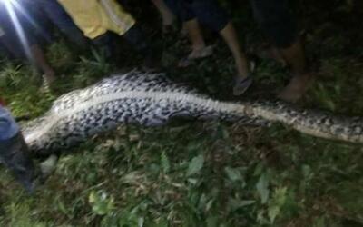 Imagen de la pitón con el cuerpo del joven desaparecido.