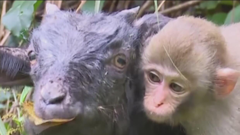 Una cabrita y un mono se vuelven virales por su amistad incondicional