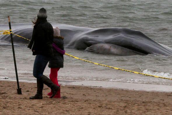 Personas de la localidad se acercan con curiosidad a ver al animal varad...
