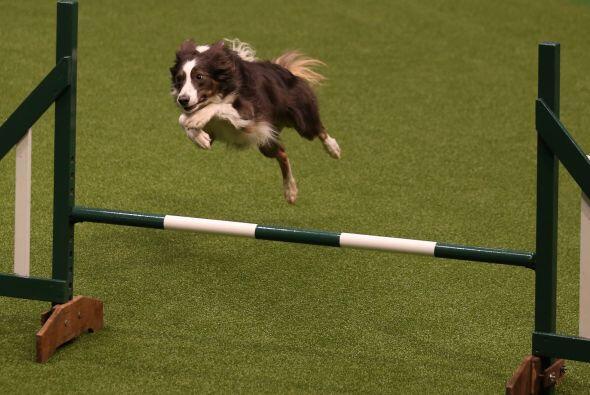 Poco a poco un grupo selecto de perros fue avanzando a las rondas finales.