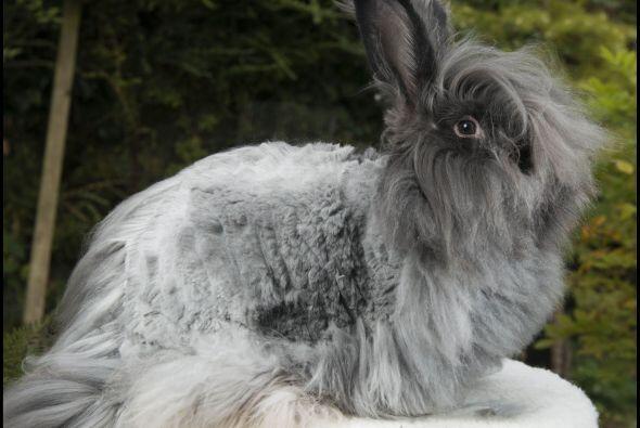 Si tienes un conejo como estos y no sabes qué hacer con su gran pelaje,...