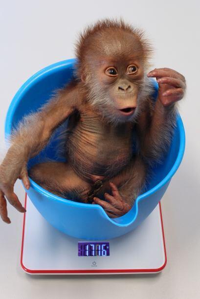 """Por su parte el director del zoológico señaló """"ya sea que el orangután s..."""