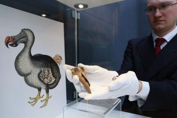 El extinto ave elefante, nativo de Madagascar, era el pájaro de mayor ta...