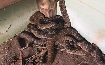 24 serpientes sorprendieron a una familia en Texas