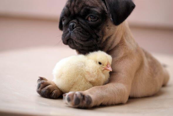 Ho dice que su amistad se hizo fuerte porque el pug no era territorial.