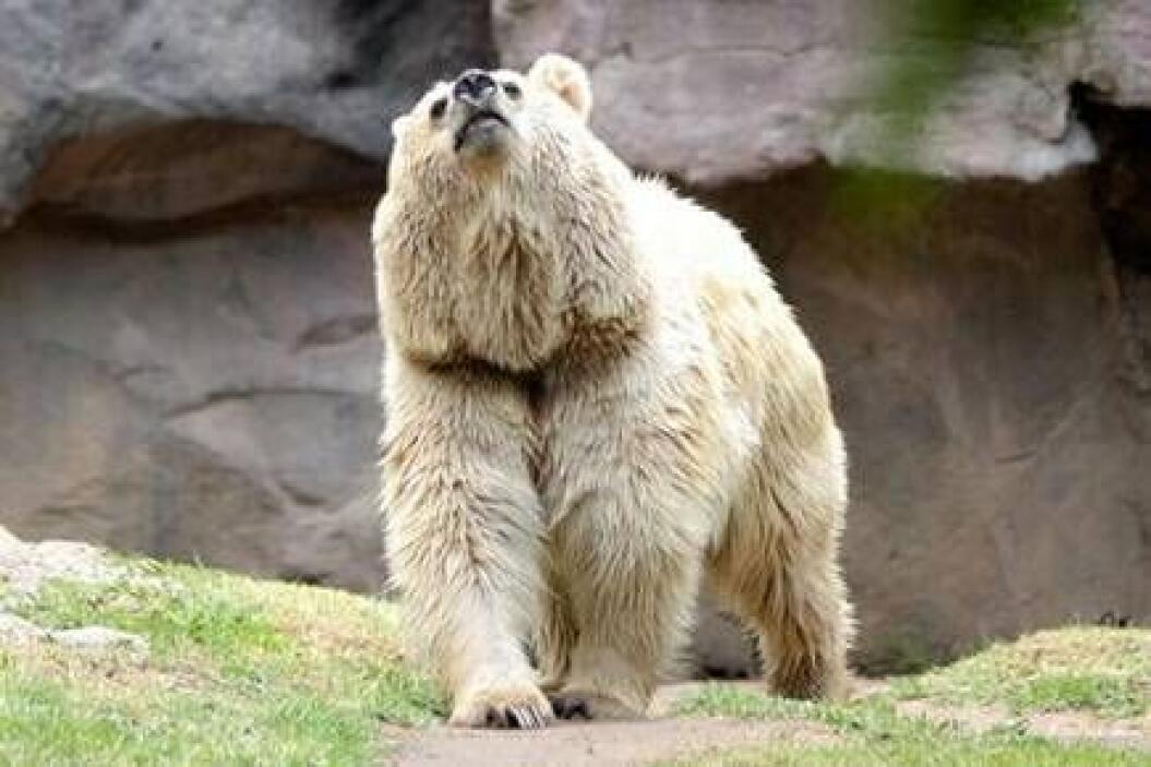 Esta simpática osa vivió casi 30 años en el zoológico más grande de Méxi...