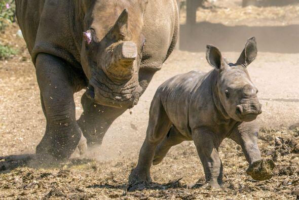 Nace una hermbra de rinoceronte blanco