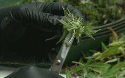 Así florecen los cultivos de marihuana en las casas de Nueva York