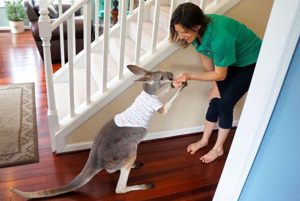 El canguro salta alrededor de toda la casa cada que se abre la puerta  p...