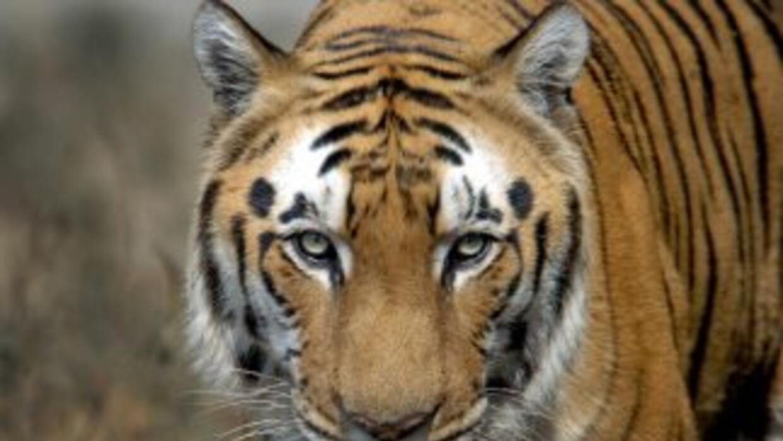 En el último mes la tigresa ha matado a ocho personas, autoridades activ...