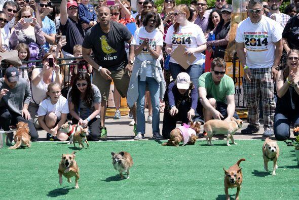Chihuahuas celebran Cinco de mayo disfrazados