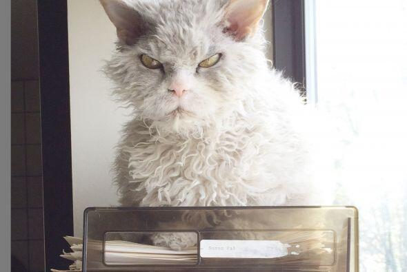 Albert es uno de los gatos más amados en las redes. ¡Hay muchos memes so...