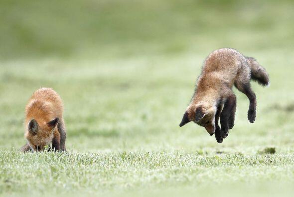 Estos pequeños zorros están haciendo algo que pocos han vi...