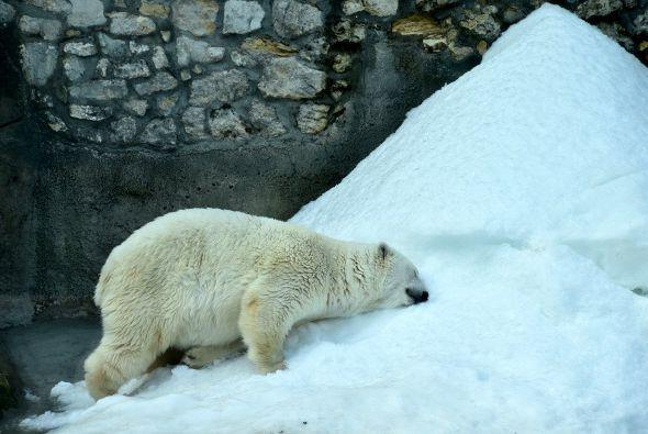 Este oso polar disfruta de un baño de sol en el zoológico de Moscú.
