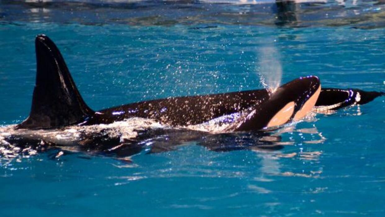 Takara, una orca de 22 años de edad, dio a luz a una bebé orca en los pr...