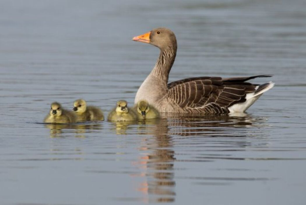 A orillas del estanque de la reserva de Walthamstow buscaron comida, con...