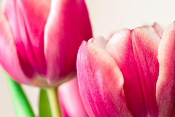 ¿Te gustan los tulipanes? ¡Perfecto! Pues será la oc...